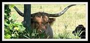 Gail Matthews - Texas Longhorn and Baby