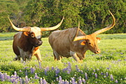 Longhorn Photos - Texas Longhorn Cattle by Andrew McInnes