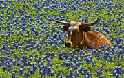 Texas Longhorn In Bluebonnets Framed Prints - Texas Longhorn II Framed Print by John Babis