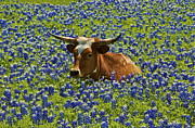 Texas Longhorn In Bluebonnets Framed Prints - Texas Longhorn  Framed Print by John Babis