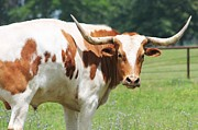 Lorri Crossno Art - Texas Longhorn by Lorri Crossno