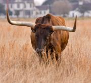 Ranching Art - Texas longhorn by Louise Heusinkveld