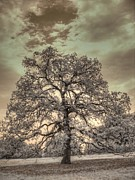 Infrared Art - Texas Oak Tree by Jane Linders