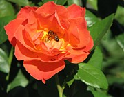 Bonita Hensley - Texas Rose with Bee