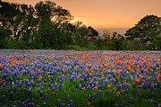 Bluebonnet Wildflowers Posters - Texas Sunset - Bluebonnet Landscape Wildflowers Poster by Jon Holiday