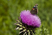 Ark Prints - Texas Thistle And Butterfly Print by Mark Weaver