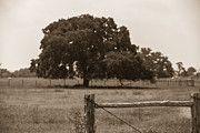 Texas Landscape Framed Prints - Texas Tree and Fence in Sepia  Framed Print by John McGraw