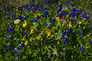 Kelly Kitchens - Texas Wildflowers