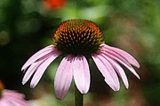 Flower Gardening Prints - Textured Coneflower Print by Linda Fowler