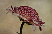 Chrysanthemum Art - Textured Mum by John Edwards