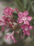 Oleanders Framed Prints - Textured Oleander Framed Print by Heather Applegate