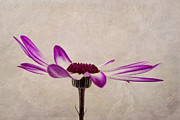 Blooming Digital Art Metal Prints - Texturised Senetti pericallis Metal Print by John Edwards