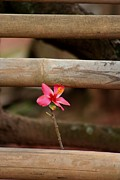 Bamboo Fence Prints - Thai Hilltribe Flower #2 Print by Nola Lee Kelsey