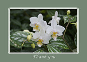 Michael Peychich - Thank You White Orchids