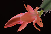 Cactus Flower Posters - Thanksgiving Cactus Poster by James Barber