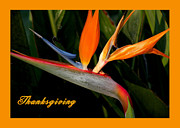 Thanksgiving Card Bird Of Paradise Print by Rosalie Scanlon