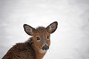 Deer In Snow Prints - That Precious Look Print by Karol  Livote
