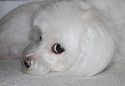 Maltese Dog Photos - That Puppy Look by Mary Beth Landis