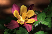 Columbine Prints - That Touch of Pink Print by Donna Kennedy