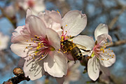 Nigel Hamer Metal Prints - The Almond Blossom Metal Print by Nigel Hamer