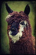 Funny Pet Picture Posters - The Alpaca  Poster by Angela Doelling AD DESIGN Photo and PhotoArt