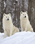 Arctic Wolf Photos - The Alpha Pair by Joshua McCullough
