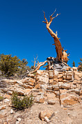 Oldest Living Tree Posters - The Altar -The Ancient Bristlecone Pine Tree. Poster by Jamie Pham