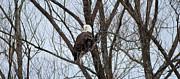 Armand  Roux - Northern Point Photography - The American Bald Eagle