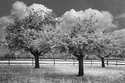 Spring Scenes Prints - The Apple Orchard Print by Debra and Dave Vanderlaan