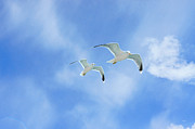 Flying Seagulls Framed Prints - The Apprentice Framed Print by David Schneider