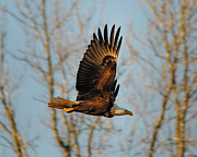 Eagle Metal Prints - The Approach Metal Print by Jai Johnson