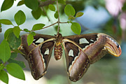 Atlas Photos - The Atlas Moth  by Saija  Lehtonen