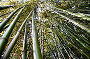 Bamboo Forest Framed Prints - The Bamboo Forest Framed Print by Bill Cannon