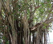 St. Lucie County Posters - The Banyan Tree Poster by Megan Dirsa-DuBois