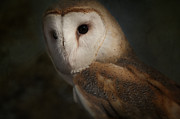Sue Fulton - The Barn Owl