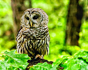 Barred Framed Prints - The Barred Owl Framed Print by Louis Dallara