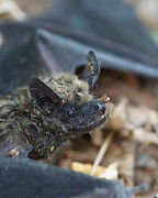 Bats Photos - The Bat by Ernie Echols