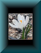 Patricia Keller Posters - The Beautiful Single Crocus Poster by Patricia Keller