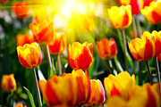 Buy Local Framed Prints - The Beautiful Tulips Framed Print by Boon Mee