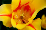 Spring Tulips Photos - The Beauty Inside by Jennifer Lyon