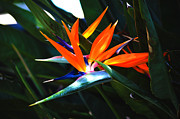 Yellow Bird Of Paradise Posters - The Beauty of a Bird of Paradise Poster by Susanne Van Hulst