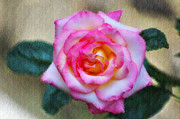 Rose - The Beauty of a Rose by Bill Cannon