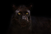 Black Leopard Prints - The Beauty of Black Print by Ashley Vincent