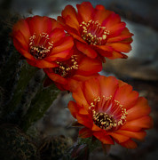 Cactus Flower Posters - The Beauty of RED Poster by Saija  Lehtonen