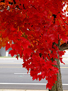 Red Leaves Photos - The Beauty of Red by Teri Schuster