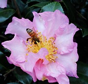 Eva Thomas - The Bee and Camellia