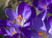 Purple Petals Prints - The Bee and the Crocus Print by Sharon  Talson