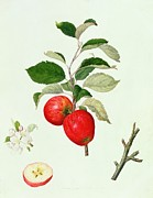 Red Apples Prints - The Belle Scarlet Apple Print by Barbara Cotton