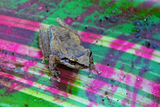 Coqui Framed Prints - The Beloved Coqui Frog Framed Print by Alan Lenk