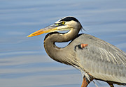 Great Heron Photos - The Big Blue  by Saija  Lehtonen